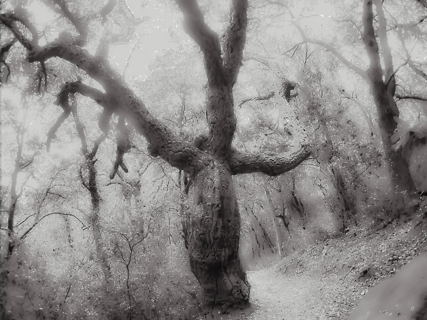 Steevens Hill - Witch's Tree